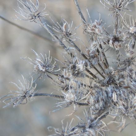 dry flower, Nikon COOLPIX L830
