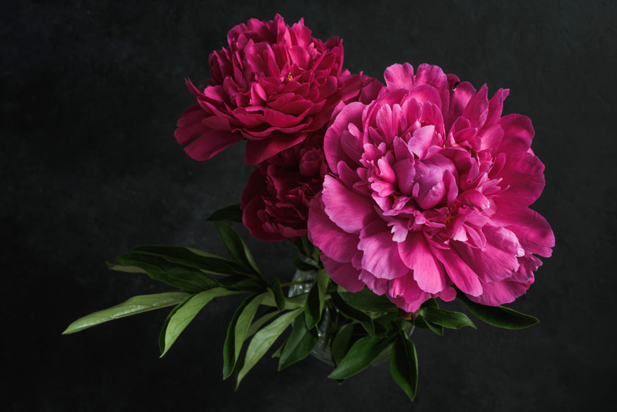 Beautiful pink peonies on dark background. Floral still life by Vladislav Nosick