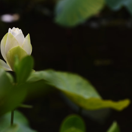 Lotus Blooming, Nikon D7200