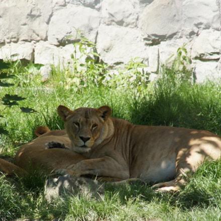lion, Sony DSLR-A450, Sigma 18-200mm F3.5-6.3 DC