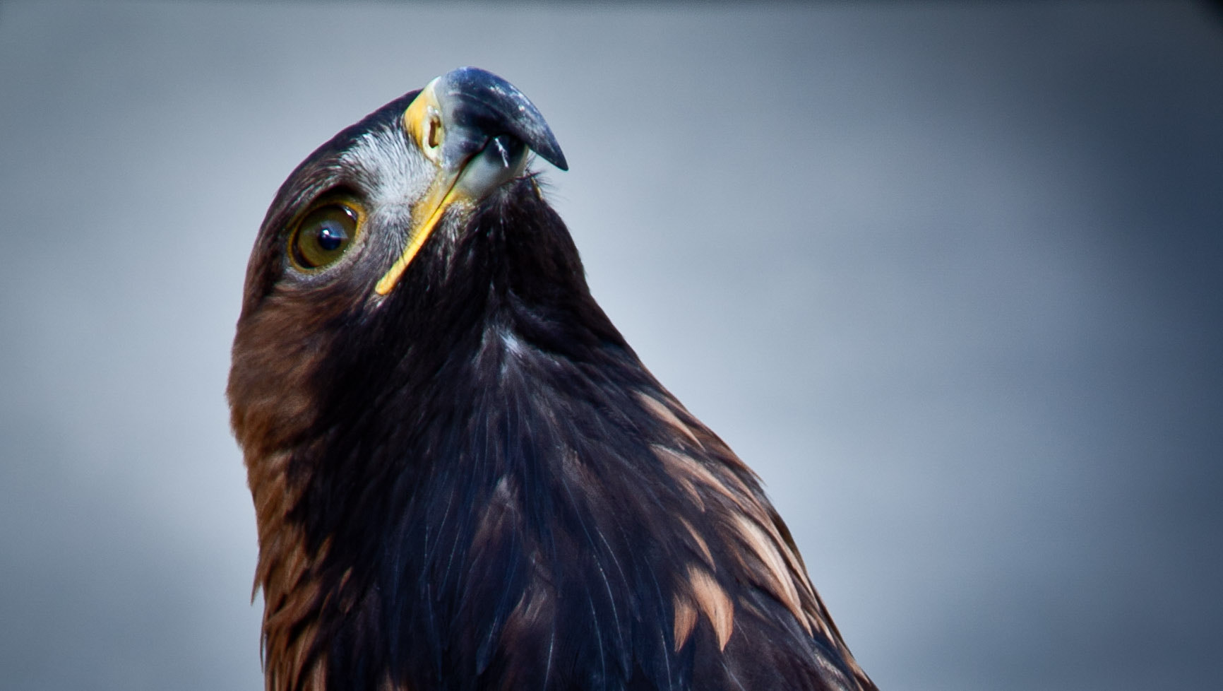 Photograph Golden Eagle by Anna Goodrum on 500px