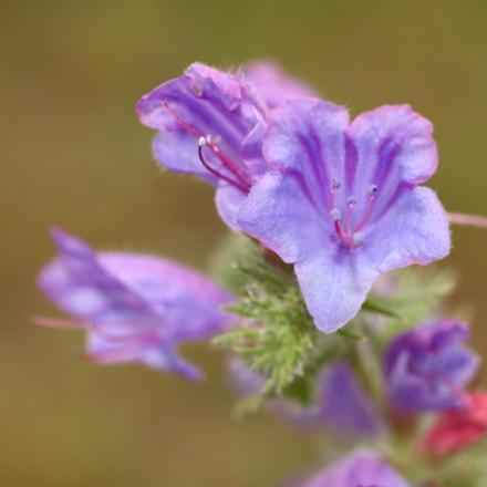 Echium vulgare azul, Canon EOS 50D, Sigma 50mm f/2.8 EX