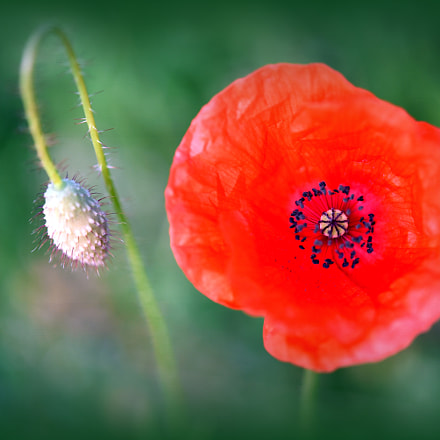 The Poppy ***, Nikon D750, AF-S Micro Nikkor 60mm f/2.8G ED
