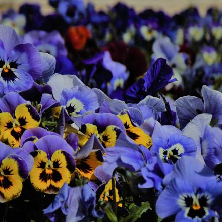 Violets, Sony DSC-H200