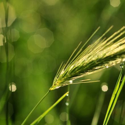grass, Nikon D300, Sigma Macro 105mm F2.8 EX DG