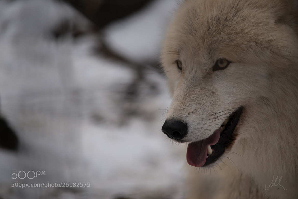 Photograph wolf by Albin Brunnbauer on 500px