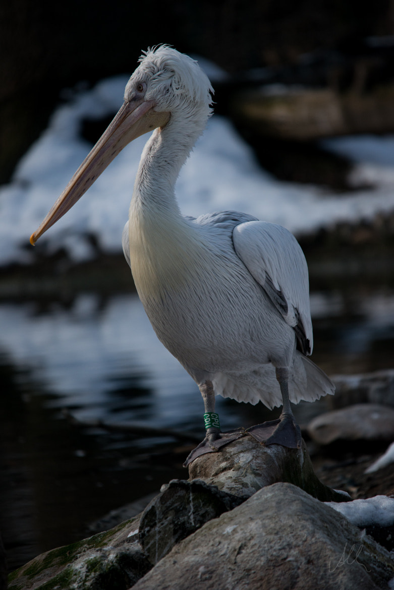 Photograph pelican by Albin Brunnbauer on 500px