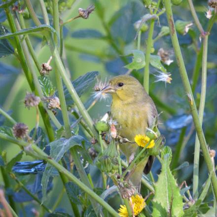Lesser Goldfinch, Nikon COOLPIX P530