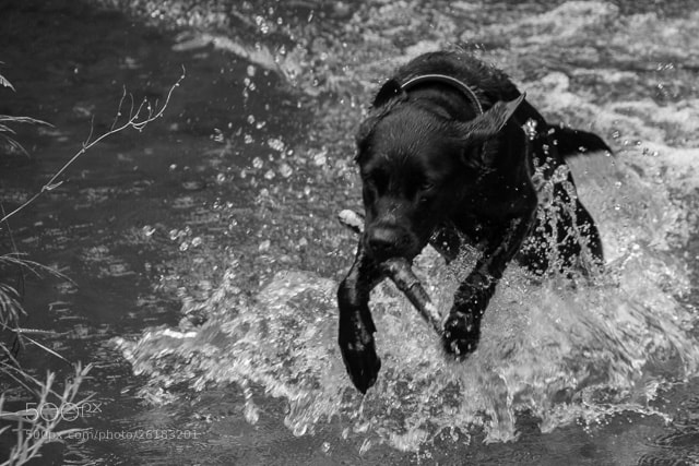 Photograph Labrador... by Raanan Danon on 500px