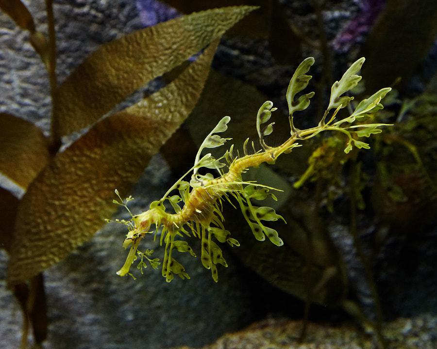 Monterey acquarium - seahorse
