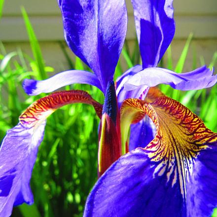 Iris Flower, Canon POWERSHOT SX610 HS