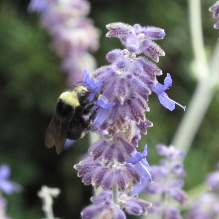 Bumblebee and Lavender, Canon POWERSHOT G10