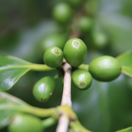 green coffee seed, Canon EOS 77D