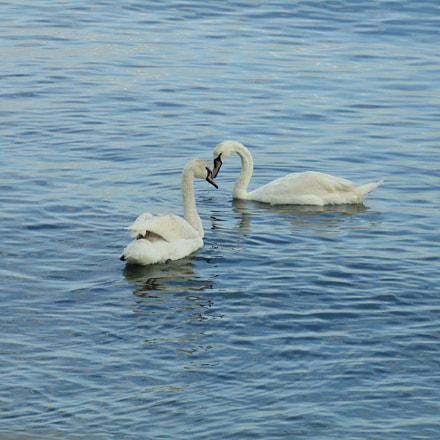 Swans love, Sony DSC-H200