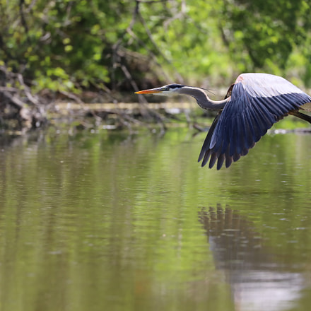 Blue Heron, Canon EOS 5D MARK IV, Canon EF 100-400mm f/4.5-5.6L IS II USM