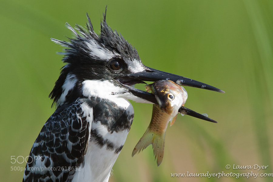 Pied Kingfisher in Kruger, with a newly killed fish.