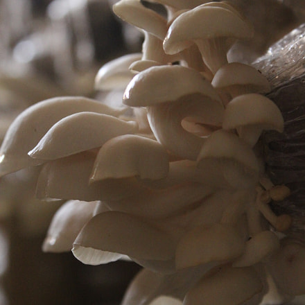 Growing Mushroom, Canon EOS 500D, Canon EF-S 18-55mm f/3.5-5.6 IS