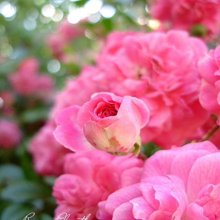 Rose, Sony DSC-P200