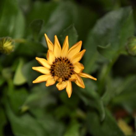 Kwiat Stokrotki, Nikon D3400, AF-S DX VR Zoom-Nikkor 18-105mm f/3.5-5.6G ED