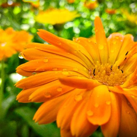 Orange flower, Samsung Galaxy J1