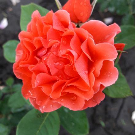 Orange rose, Samsung Galaxy J7