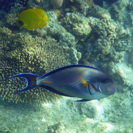 Surgeonfish, Panasonic DMC-FT3