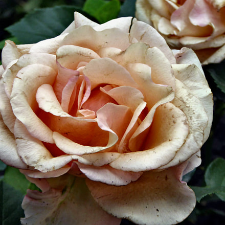 A simple rose, Panasonic DMC-TZ60