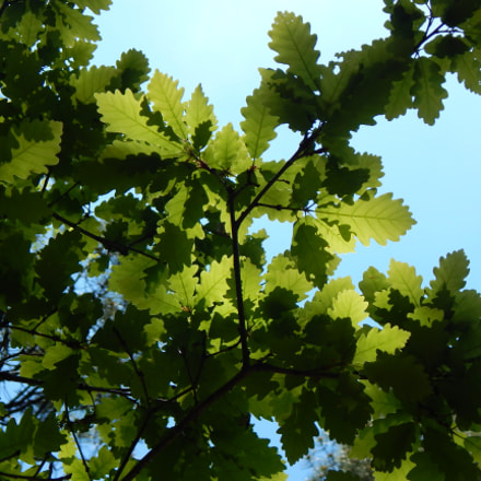 oak leaves, Nikon COOLPIX L830