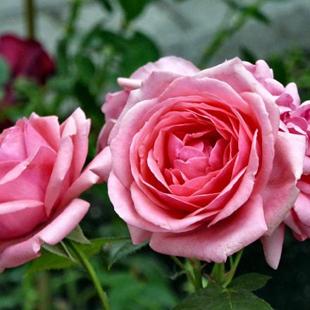 Roses in the park, Panasonic DMC-TZ60