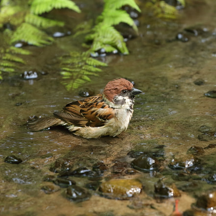 sparrow bathing 6045, Canon EOS 7D MARK II, Canon EF 100-400mm f/4.5-5.6L IS II USM