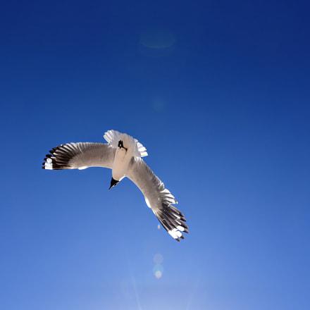 Andean Gull Encounter, Nikon D750, AF-S Nikkor 24-120mm f/4G ED VR