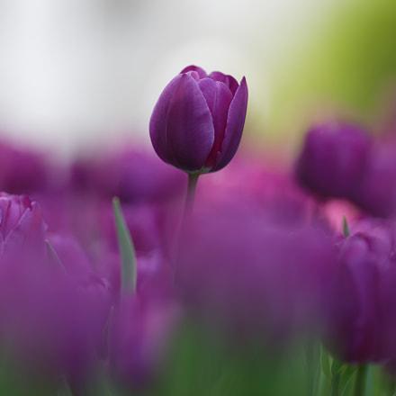 Tulips, Canon EOS 6D MARK II, Canon EF 135mm f/2L