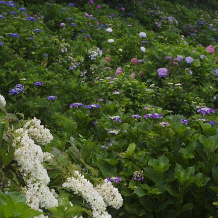 Hydrangea blossoming, RICOH PENTAX KP, smc PENTAX-DA L 18-55mm F3.5-5.6
