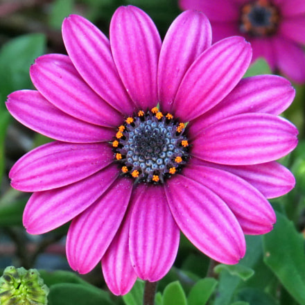 A Purple Daisy In, Canon POWERSHOT SX50 HS, 4.3 - 215.0 mm