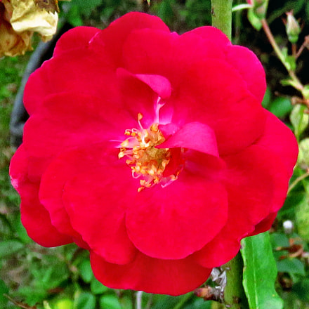 A Red Flower In, Canon POWERSHOT SX60 HS, 3.8 - 247.0 mm