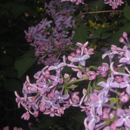 Lilacs, Canon DIGITAL IXUS 80 IS