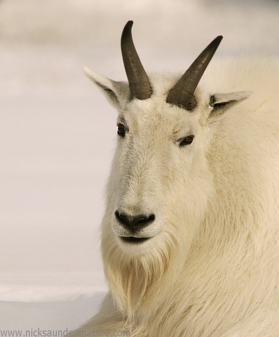 Photograph Mountain Goat by Nick Saunders on 500px
