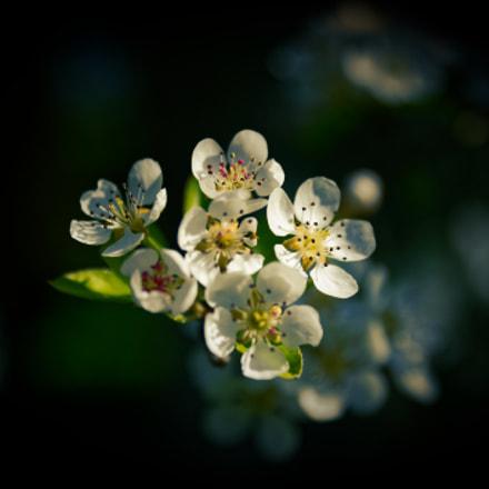 Fleurs de cerisier en, Nikon D700, Tamron SP 24-70mm f/2.8 Di VC USD (A007)