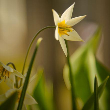 Tulipa turkestanica, Nikon D750, AF-S Nikkor 24-120mm f/4G ED VR