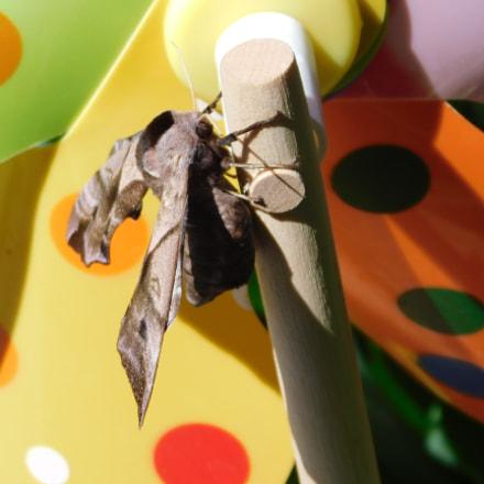 Hawk moth., Nikon COOLPIX B500