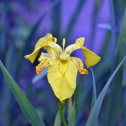 Yellow iris, Nikon D610, AF-S Nikkor 28-300mm f/3.5-5.6G ED VR
