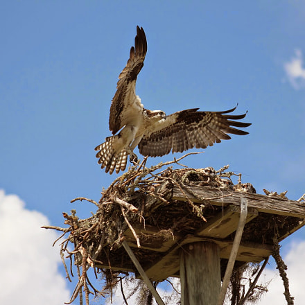 Mama Osprey and babies, Canon EOS REBEL T2I, Canon EF 75-300mm f/4-5.6