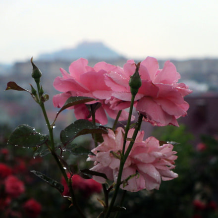 Pink Roses after Rain, Canon POWERSHOT SX220 HS