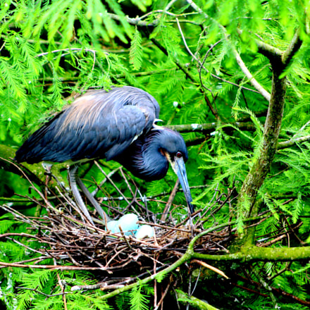Tri-Colored Heron with Eggs, Canon EOS REBEL T5, Canon EF 75-300mm f/4-5.6 USM