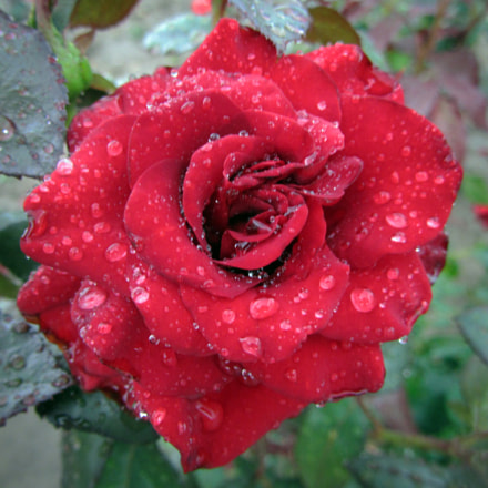 Red Rose after Rain, Canon POWERSHOT SX220 HS