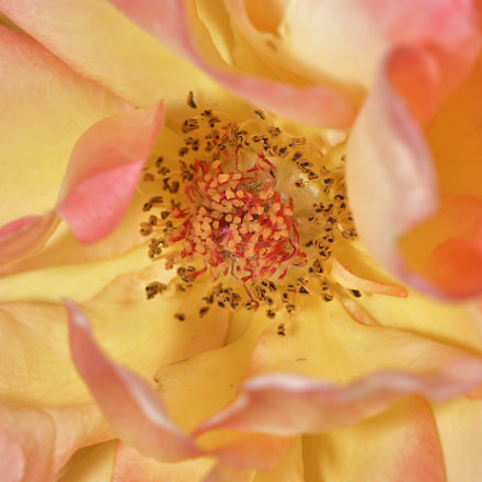 Center of Yellow rose, Nikon D500, AF-S VR Micro-Nikkor 105mm f/2.8G IF-ED