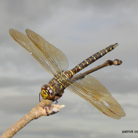 common hawker dragonfly, Sony DSC-H400