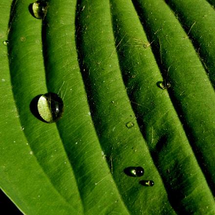 Water droplets on hosta, Panasonic DMC-TZ35