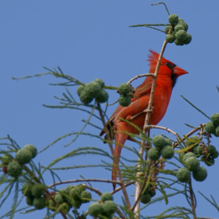 Cardinal (male), Canon EOS REBEL T7I, Canon EF 100-400mm f/4.5-5.6L IS II USM