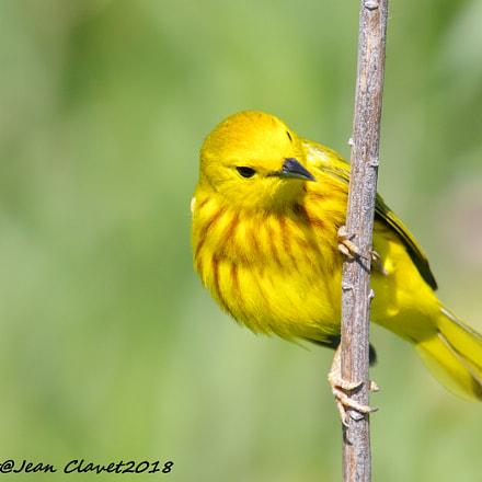 Paruline jaune American yellow, Pentax K-7, Sigma